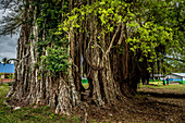 The roots of a banyan tree, Efate, Vanuatu, South Pacific, Oceania