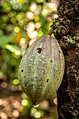 Cocoa fruit on tree, Malekula, Vanuatu, South Pacific, Oceania