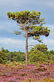 Pine forests and heathland at Cap Erquy in summer. Department Cote d'Armor, Brittany, France