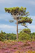 Kiefernwalder und Heidelandschaft am Cap Erquy im Sommer. Department Cote d´Armor, Bretagne, Frankeich