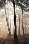 The pine forest near Cap Erquy in the autumnal morning mist. Brittany, north coast. France.