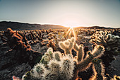 Sunset at Cholla Cactus Garden, Joshua Tree National Park, California, USA, North America