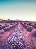 Bridestowe Lavender Fields sunset, Tasmania, Australia