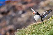 Puffin (puffin) on Grímsey, Iceland