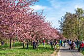 Cherry blossom in Teltow, Mauerweg, Brandenburg, Germany