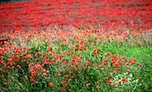 Poppy field near Freyburg an der Unstrut, Wiese, Rot, Saxony-Anhalt, Germany