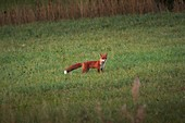 A red fox (Vulpes vulpes) is standing on a summer meadow, watching.