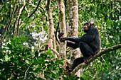 Chimpanzee (Pan troglodytes schweinfurthii)  male sitting in a tree. Kibale National Park, Uganda, Africa