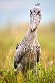 Shoebill stork (Balaeniceps rex) in the swamps of Mabamba, Lake Victoria, Uganda, Africa.