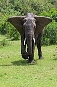 African elephant, Loxodonta africana, Masai Mara National Reserve, Kenya, Africa