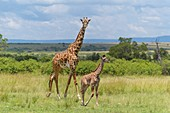 Masai Giraffe, Giraffa camelopardalis, female with young, Masai Mara National Reserve, Kenya, Africa