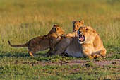 African lion, Panthera Leo, lioness with two cub, Masai Mara National Reserve, Kenya, Africa