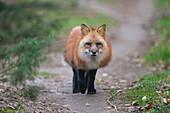 Red Fox, vulpes vulpes, running