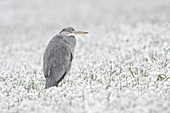 Grey Heron / Graureiher ( Ardea cinerea ) in winter, standing / resting in a snow covered field of winter wheat, light snowfall, wildlife, Europe.