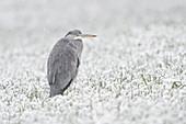 Graureiher (Ardea cinerea) im Winter auf schneebedeckten Feld von Winterweizen, leichtem Schneefall, Wildtier, Europa