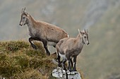 Alpine Ibex ( Capra ibex ) in wild high mountains range, two young animals in typical mountain terrain, wildlife, Swiss alps, Europe.\n