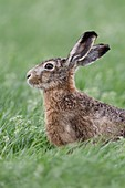 Haer / Brown Hare / European Hare ( Lepus europaeus ) sitting in a meadow, watching attentively, nice side view, wildlife, Europe.