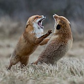 Red Fox / Rotfuchs ( Vulpes vulpes ), two adults, standing on hind legs, threatening each other with wide open jaws, territorial behavoir during rut, wildlife, Europe.