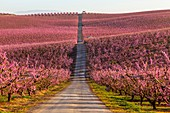 Blooming fields of peaches in Aitona, Catalonia, Spain.\nTourist place to take photos and beautiful walks