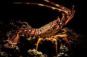 Lobster (palinurus elephas) Alghero. Sardegna. Italia