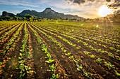 Auf dem Feld wächst stetig Tabak, Vinales, Kuba