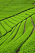 Japan, Honshu island, Kansai region, Uji, tea field for Sencha, Gyokuro and Matcha tea