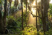 Sun rays in the jungle, Bijilo Forest Park, Bijilo, Gambia, West Africa