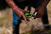 A Colombian farm worker cuts off the stem of an avocado fruit at a plantation near Sonsón, Antioquia department, Colombia, 22 November 2019.