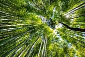 Kyoto Japan. Arashiyama Bamboo Grove