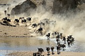 Blue wildebeest, brindled gnu (Connochaetes taurinus) herd crossing the Mara river during the great migration, Serengeti national park, Tanzania.
