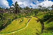 Reisfelder, Reisterrassen von Tegallalang, Bali, Indonesien