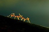 Two Ant against light background, Garo Hills, Meghalaya, India