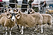 Sheep in judging pen at North Harris Agricultural Show, Tarbert, Isle of Harris, Outer Hebrides, Scotland