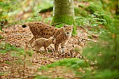 Eurasian lynx (Lynx lynx) mother animal with her youngster in a forest, captive, Bavarian Forest Nationalpark, Bavaria, Germany, Europe