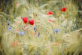 Poppies and cornflowers with raindrops in the barley field, Bringhausen, Edertal, Waldeck-Frankenberg, Hesse, Germany, Europe