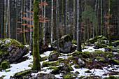Winter forest at the Langbathseen near Ebensee, Upper Austria, Austria.