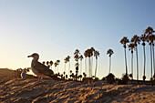 Seagull in the evening light on Santa Barbara Beach, California, USA.