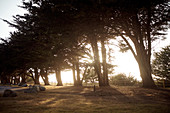 Row of trees in the evening light in a parking lot near Big Sur on Highway 1, California, USA.