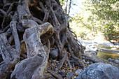 Baumwurzeln am Big Sur River im Pfeiffer Big Sur State Park, Kalifornien, USA.