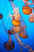 Jellyfish at the Monterey Bay Aquarium in Monterey, California, USA.