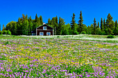 Lush flower meadow with a red Swedish house, near Vilhelmina, Norrbotten County, Sweden