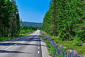 Lonely road with forest and lupins, near Järvsö, Västernorrland, Sweden
