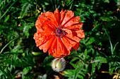 A close-up of a poppy in Småland, Sweden