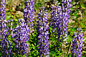 Blooming lupins in the sunlight, near Gällivare, Norrbotten County, Sweden