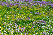 A meadow full of flowers in Lapland, near Haparanda, Norrbottens Län, Sweden
