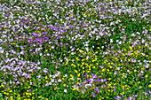 Colorful flower meadow in Lapland, near Haparanda, Norrbotten County, Sweden