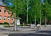 Rentiere wandern entlang der Hauptstrasse in Arvidsjaur, Norrbottens Län, Schweden