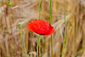 Close-up of a poppy in the cornfield, near Mjölby, Östergötland County, Sweden