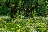 Alte Bäume umgeben von blühenden Kräutern und Sträuchern bei Garphyttan, Provinz Örebro, Schweden
