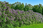 Blooming lilac hedge and birch forest near Sollerön, Calarna, Sweden